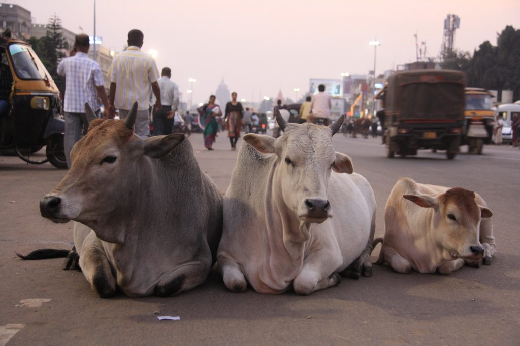3,Cows,Laying,In,The,Middle,Of,The,Main,City