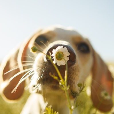 A white dog smelling a chamomile flower with the focus on the flower.